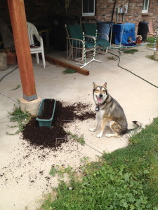 I gave Evey a raw bone for being such a good girl. I thought it would be a good idea to give it to her outside to reduce the amount of mess on the carpet. She wanted to save it for later. So she dug up my freshly sprouted morning glories. Such a comedian!